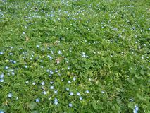 First spring flowers on green lawn. Blue spring flowers among the clover  leaves and green grass Royalty Free Stock Images