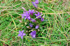First spring flowers grows in dry grass. Mountain region, Durmitor, Montenegro. Royalty Free Stock Photography