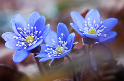 First spring flowers hepatica Royalty Free Stock Photos