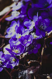 First spring flowers - Hepatica nobilis Royalty Free Stock Photo