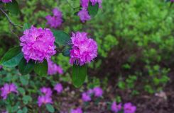 The first spring flowers of lilac rhododendrons. Early spring royalty free stock photos