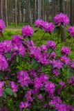 The first spring flowers of lilac rhododendrons. Early spring. royalty free stock photo