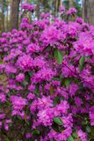 The first spring flowers of lilac rhododendrons. Early spring. royalty free stock photos