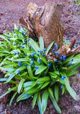The first spring flowers - Little blue Scylla flowers.Spring background of flowers.  stock photography