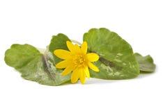 First spring flowers - Marsh Marigold Stock Photo