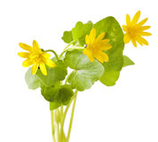 First spring flowers - Marsh Marigold Stock Images