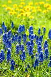 First spring flowers muskari blue flower on the background bokeh Royalty Free Stock Images
