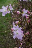 The first spring flowers of pink rhododendrons. Early spring royalty free stock photo