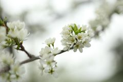 First spring flowers plum stock photo