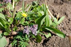 First spring flowers. Purple Corydalis with green leaves growing on brown ground. First spring flowers. Purple Corydalis with green leaves growing in brown Stock Photos