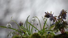 The first spring flowers in rainy and cloudy day. Selective focus. stock video footage