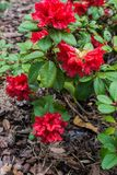 The first spring flowers of red rhododendrons. Early spring.  royalty free stock images