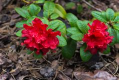 The first spring flowers of red rhododendrons. Early spring.  royalty free stock photography