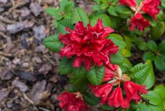 The first spring flowers of red rhododendrons. Early spring.  royalty free stock photo