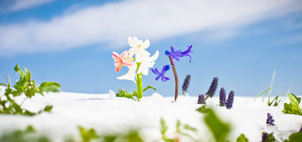First Spring  flowers with snow against blue sky Stock Photo