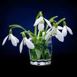 First spring flowers snowdrops bouquet Stock Photos