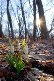 First spring flowers, snowdrops in forest stock photography
