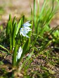 First spring flowers are snowdrops royalty free stock photos