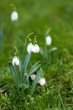 First spring flowers, snowdrops Royalty Free Stock Images