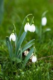 First spring flowers, snowdrops Stock Images
