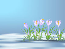 First  spring flowers   on thawed patch. Blue - violet crocuses. Stock Photo