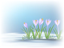 First  spring flowers on thawed patch. Blue - violet crocuses. Royalty Free Stock Photos