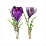 First spring flowers, violet crocuses. Royalty Free Stock Photography