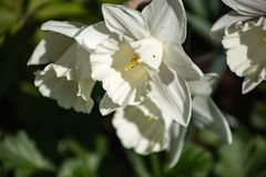 The first spring flowers are white daffodils on a background of foliage close-up stock image