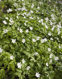 First spring flowers - white snowdrops Royalty Free Stock Photo