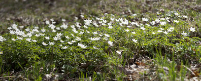 The first spring flowers - white snowdrops, Royalty Free Stock Photography