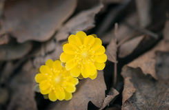 First spring flowers among withered leaves. Royalty Free Stock Photography