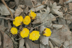 First spring flowers among withered leaves. Stock Image
