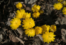 First spring flowers among withered leaves. Stock Photos