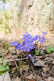 The first spring flowers in a wood Stock Photo