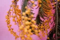 The first spring flowers, yellow chrysanthemums on a pink background, close-up. The first spring flowers, yellow chrysanthemums on a pink background, closeup. A Royalty Free Stock Image