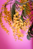 The first spring flowers, yellow chrysanthemums on a pink background, close-up. The first spring flowers, yellow chrysanthemums on a pink background, closeup. A Stock Photography