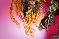 The first spring flowers, yellow chrysanthemums on a pink background, close-up. The first spring flowers, yellow chrysanthemums on a pink background, closeup. A Stock Photos