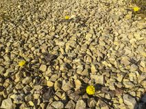 The first spring flowers. On yellow rubble Stock Image