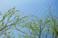 First spring fresh leaves. Blooming landscape, background in spr Royalty Free Stock Photos