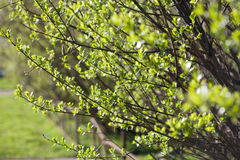 First spring fresh leaves. Blooming landscape, background in spr Royalty Free Stock Photography