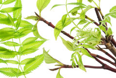 The first spring gentle leaves Stock Images