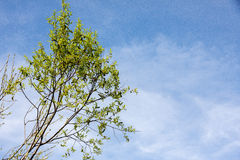 The first spring gentle leaves: background of green tree branch stock image