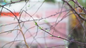 The first spring gentle leaves. Buds and branches stock footage