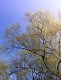 The first spring gentle leaves, buds and branches Royalty Free Stock Photo