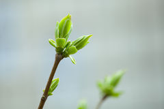 The first spring gentle leaves, buds and branches Royalty Free Stock Photography