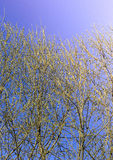 The first spring gentle leaves, buds and branches Royalty Free Stock Image