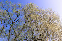The first spring gentle leaves, buds and branches Stock Photography