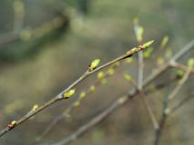 The first spring gentle leaves royalty free stock photo