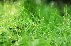 First spring grass Royalty Free Stock Photo