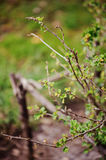 First spring green leaves on bush in sunny garden Royalty Free Stock Photography
